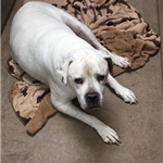 Jagger is a neutered American Bulldog that lived with other dogs.