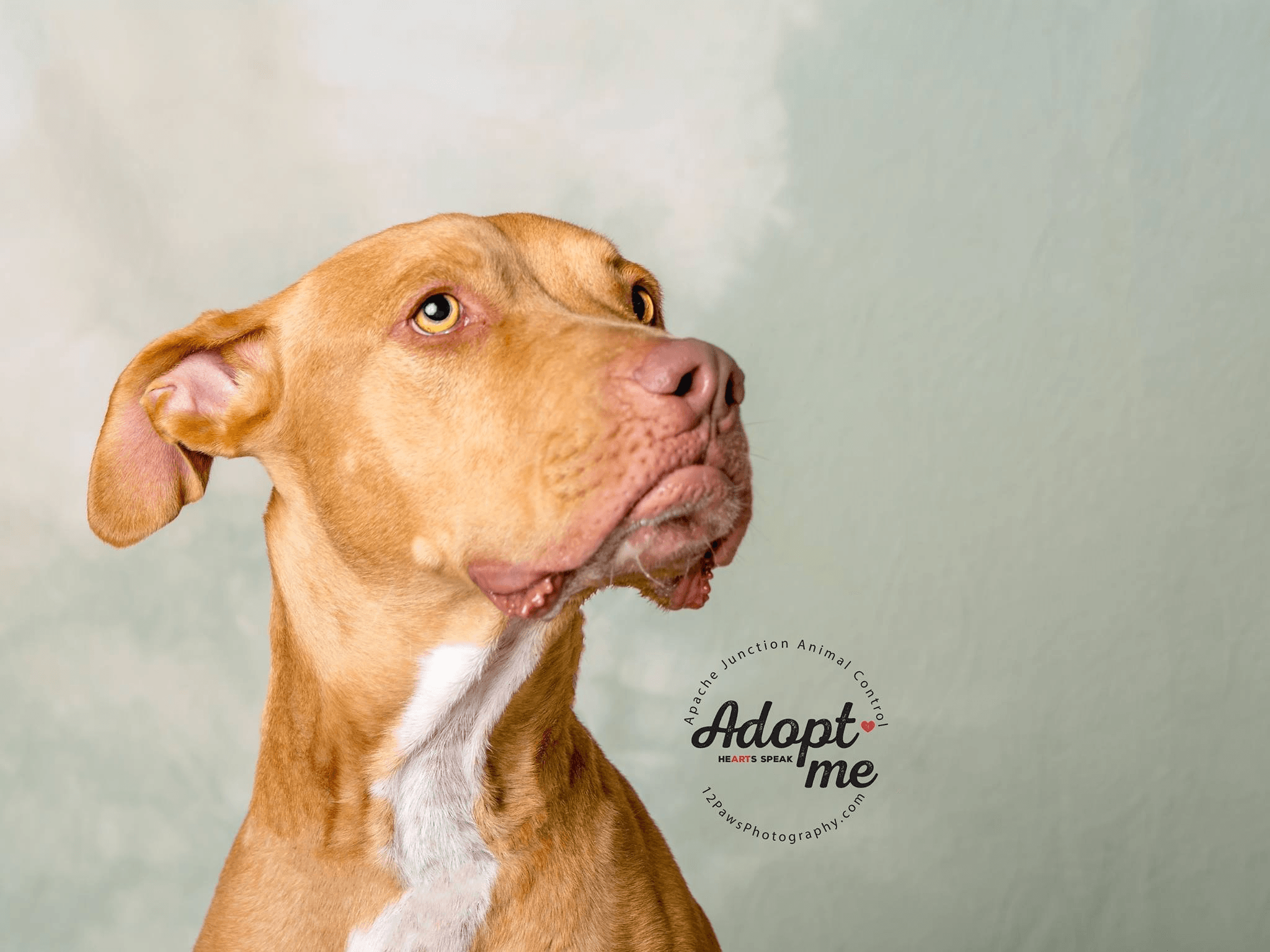 Marley is a 1 year old pit bul that has the best facial expressions. He is an active dog that needs